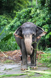 The Indian elephant. Eats foliage of trees on a farm Royalty Free Stock Photo