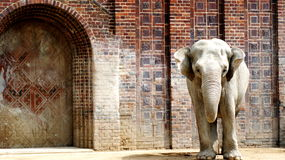 Indian elephant. S refer to animals, which, like tigers, are protected by law. But, nevertheless, for the harm done to agriculture, they are often destroyed by Royalty Free Stock Photos