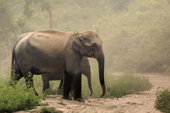 Indian elephant Elephas maximus. The Asian or Asiatic elephant is the only living species of the genus Elephas and is distributed in Southeast Asia from India in stock photos