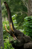 Indian elephant Elephas maximus. The Asian or Asiatic elephant is the only living species of the genus Elephas and is distributed in Southeast Asia from India in stock photography