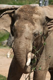 Indian elephant (Elephas maximus indicus) Stock Photo