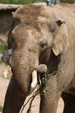 Indian elephant (Elephas maximus indicus) Stock Photos