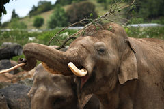 Indian elephant (Elephas maximus indicus) Stock Image