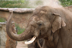 Indian elephant (Elephas maximus indicus) Stock Images