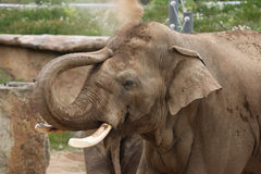 Indian elephant (Elephas maximus indicus) Royalty Free Stock Photography