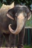 Indian elephant (Elephas maximus indicus). Stock Photo