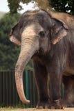 Indian elephant (Elephas maximus indicus). Royalty Free Stock Images