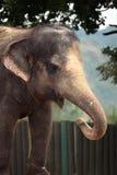 Indian elephant (Elephas maximus indicus). Stock Photography