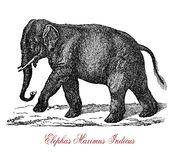 Indian elephant Elephas maximus indicus,vintage engraving. The Indian elephant Elephas maximus indicus is one of three recognized subspecies of the Asian Stock Photo