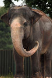 Indian elephant (Elephas maximus indicus). Royalty Free Stock Photography