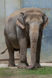 Indian elephant (Elephas maximus indicus). Royalty Free Stock Photos