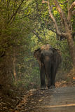 Indian elephant Elephas maximus -Makhna. The Asian or Asiatic elephant is the only living species of the genus Elephas and is distributed in Southeast Asia from Royalty Free Stock Images