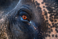 Indian Elephant eye Stock Images