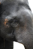 Indian elephant face Royalty Free Stock Photography