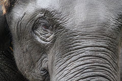 Indian elephant face Stock Image