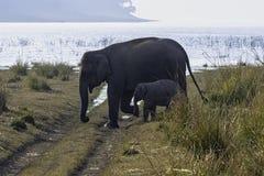 Indian elephant family in Jim Corbett National Park, India. Indian elephant / Elephas maximus indicus / family in Jim Corbett National Park, India stock images