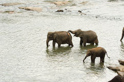 Indian elephant family at a waterhole Stock Image