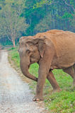 Indian Elephant. Female elephant crossing the jungle trail at Corbett Park Stock Photography