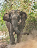 Indian Elephant. Female elephant throwing dust in aggression at Corbett Park Stock Photo