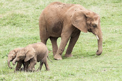 Indian Elephant herd Stock Image