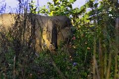 Indian elephant hidden in the bush - Jim Corbett National Park, India. Indian elephant /Elephas maximus indicus/ hidden in the bush - Jim Corbett National Park stock photography