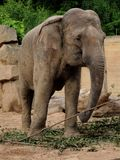 Indian elephant. Elephant holding a branch in their trunk royalty free stock image