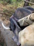 Indian elephant and injured mahavat rider holding Ankus hook royalty free stock image