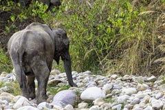 Indian elephant in Jim Corbett National Park, India. Indian elephant /Elephas maximus indicus/ in Jim Corbett National Park, India royalty free stock images