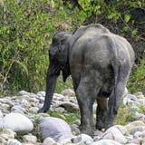 Indian elephant in Jim Corbett National Park, India. Indian elephant /Elephas maximus indicus/ in Jim Corbett National Park, India royalty free stock photo