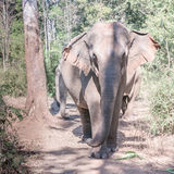 An Indian elephant Royalty Free Stock Images