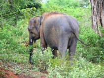 Indian elephant in jungle Royalty Free Stock Photos