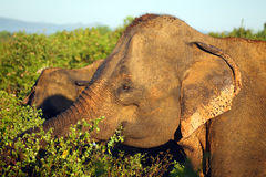 Indian elephant in jungle Royalty Free Stock Image