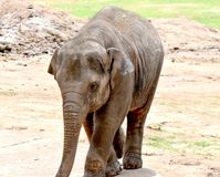 Indian elephant, juvenile, Oklahoma City Zoo and Botanical Garden. In the elephant enclosure with his mom. Trying to keep cool in the pool royalty free stock photography