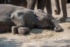 Indian elephant lying on the ground relaxing in the sun stock photo