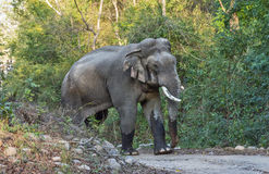 Indian Elephant. Male Elephant crossing jungle trail at Jim Corbett National Park, India Royalty Free Stock Photos