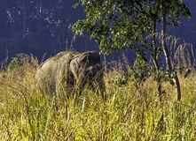 Indian elephant is one of three recognized subspecies of the Asian elephant and native to mainland Asia - Jim Corbett National Par. Indian elephant / Elephas royalty free stock image