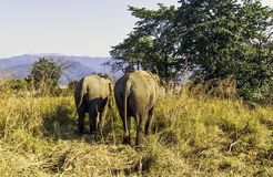 Indian elephant is one of three recognized subspecies of the Asian elephant and native to mainland Asia - Jim Corbett National Par. Indian elephant / Elephas stock image