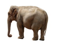 Indian elephant Stock Images
