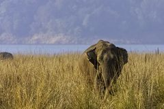 Indian elephant with Ramganga Reservoir in background - Jim Corbett National Park, India. Indian elephant /Elephas maximus indicus/ with Ramganga Reservoir in stock photo