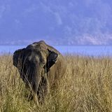 Indian elephant with Ramganga Reservoir in background - Jim Corbett National Park, India. Indian elephant /Elephas maximus indicus/ with Ramganga Reservoir in royalty free stock photography
