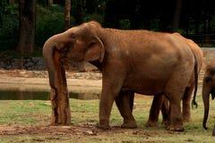 Indian elephant resting Stock Photos