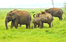 Indian elephant Royalty Free Stock Image