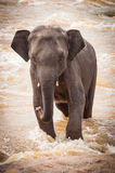 Indian Elephant Is Standing In The River Royalty Free Stock Photo