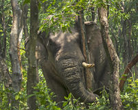 Indian Elephant tearing tree bark, Indo-Nepal border, West Bengal, India Stock Images