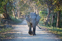 Indian elephant walking down the road. In Kaziranga National Parc Royalty Free Stock Images