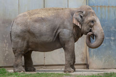 Indian elephant (Elephas maximus indicus). Stock Image