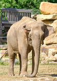 Indian elephant at the zoo. Prague - Czech Republic. Royalty Free Stock Image