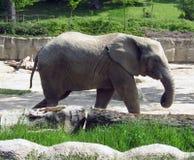 Indian elephant royalty free stock photo