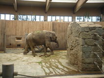 Indian elephant - zoological garden on Ostrava in the Czech Republic Royalty Free Stock Photos