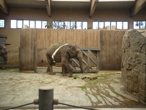 Indian elephant - zoological garden on Ostrava in the Czech Republic Royalty Free Stock Photo